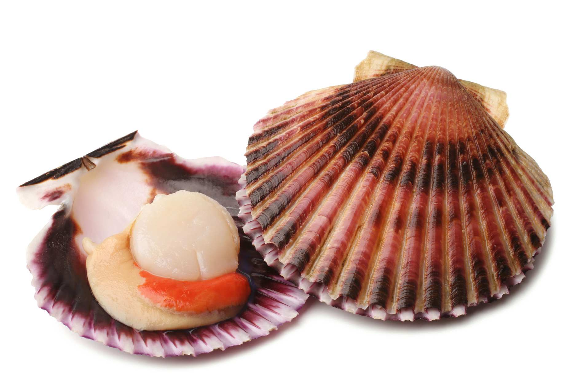 Shelled And Opened Florida Scallop