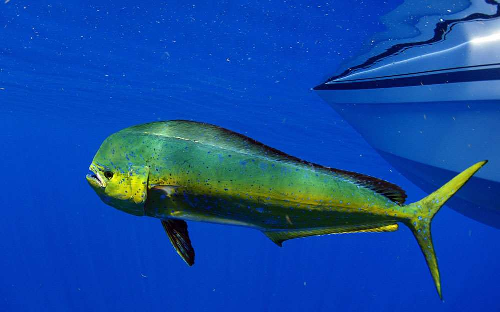 Fishing For Mahi: What To Know