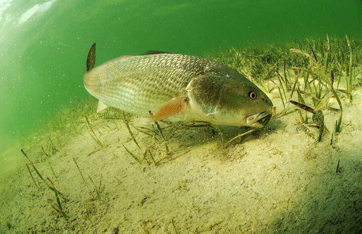 Redfish: Red Drum Fishing Tips