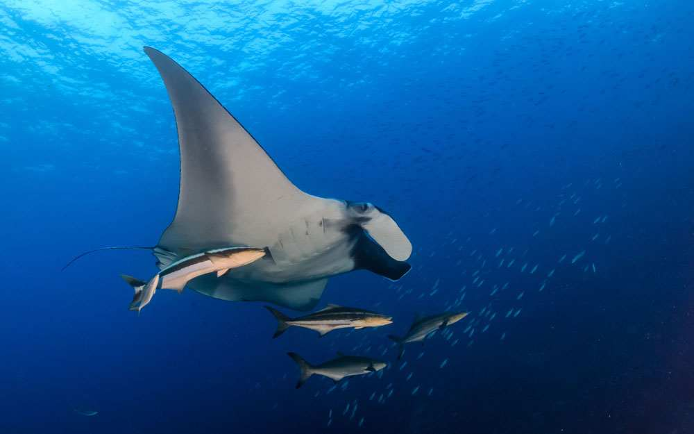 Cobia Riding Along A Manta