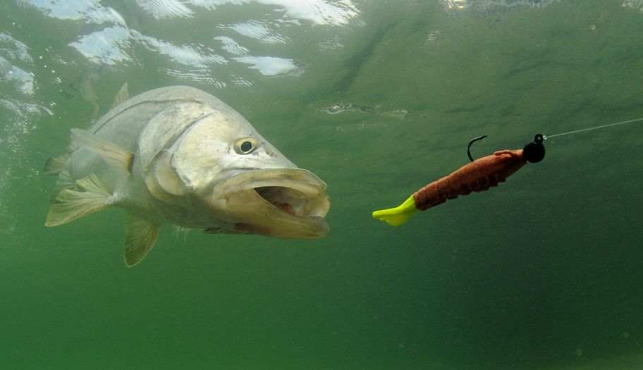Snook Biting a Lure