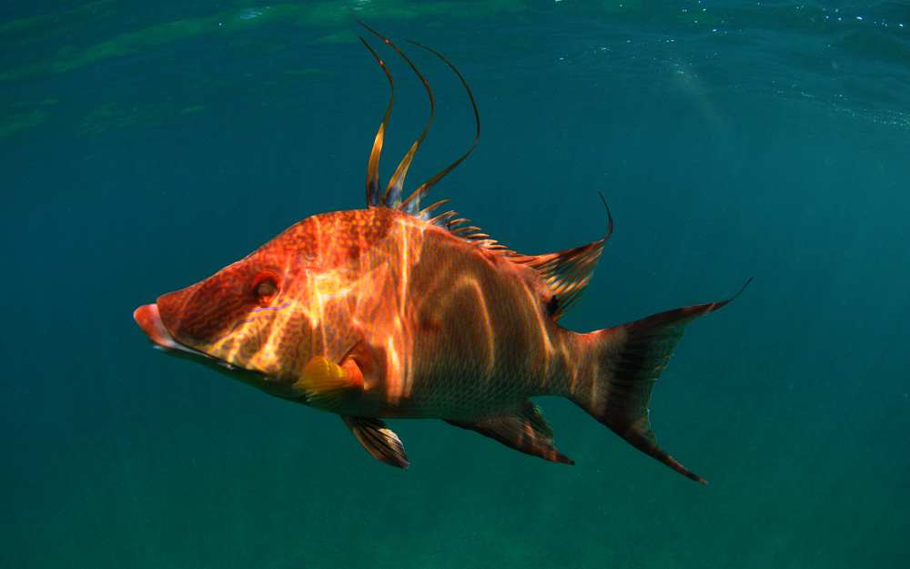 Hogfish In Ocean