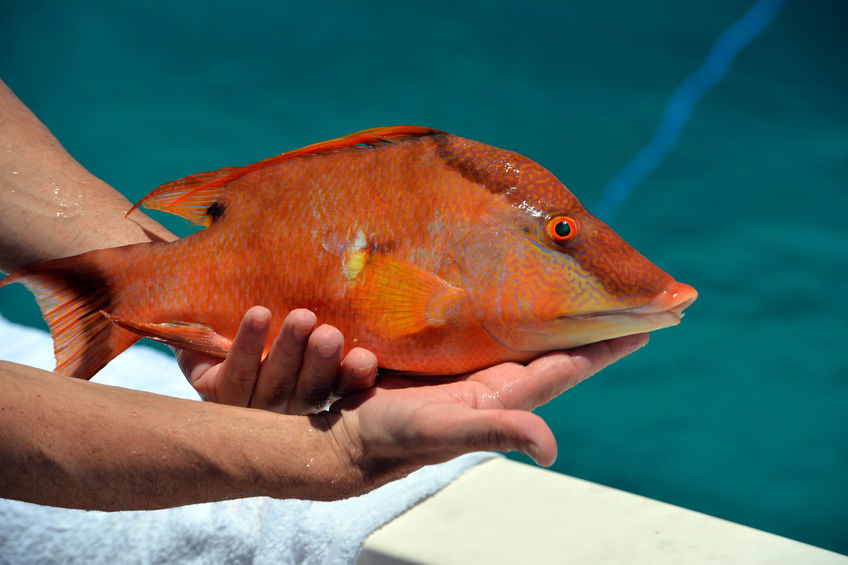 Caught Hogfish