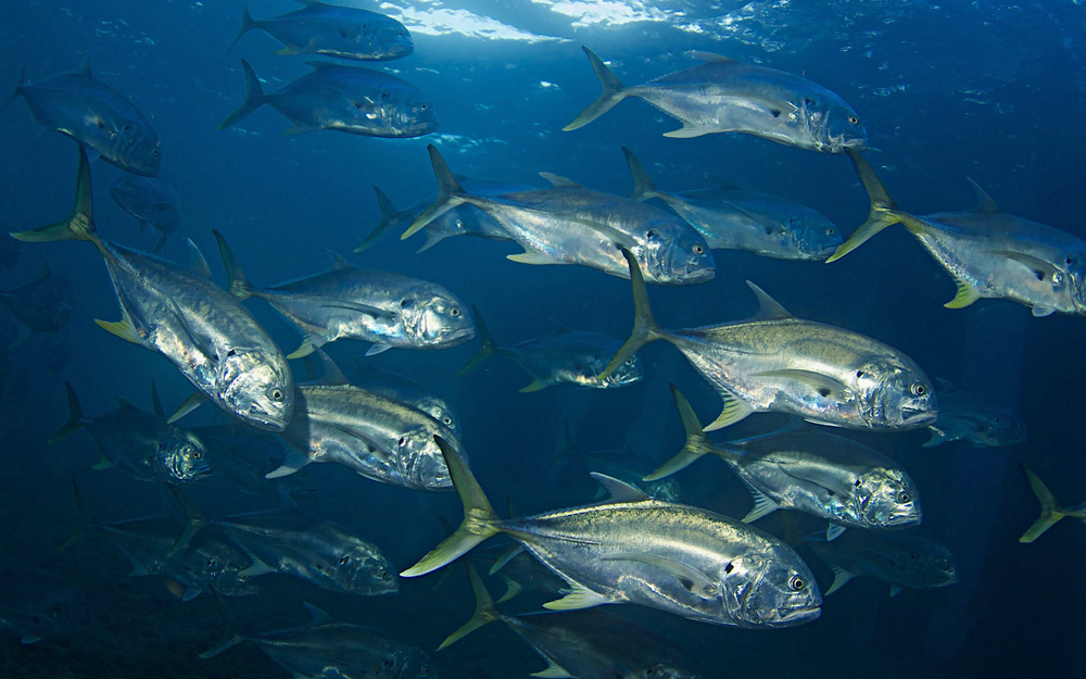 School Of Jack Crevalle