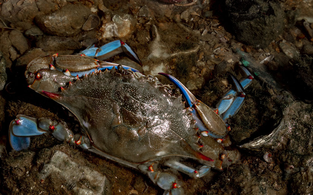Blue Crabs And How To Catch Them