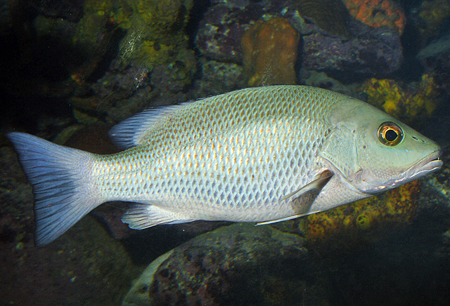 Mangrove Snapper Tips And Tricks